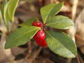 bigstock-Wintergreen