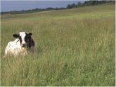 vache Léonet
